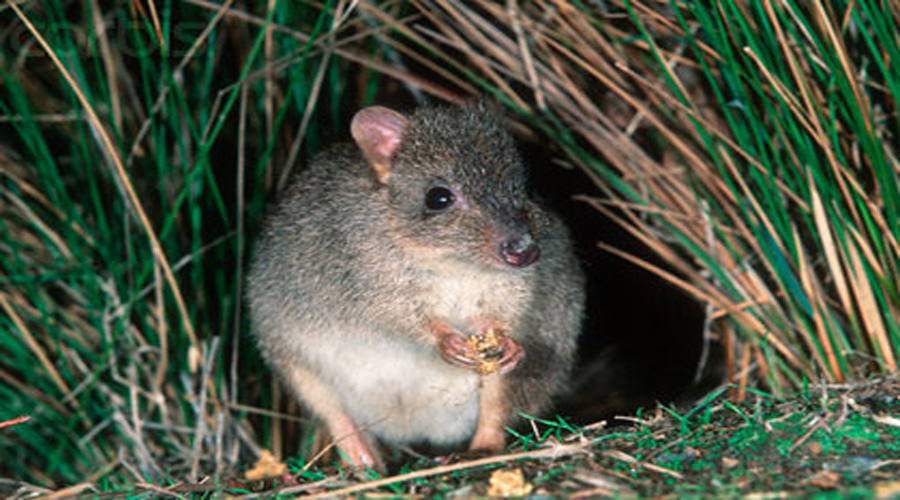 Brushtailed Bettong
