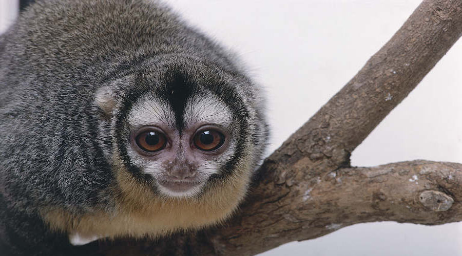 Douroucouli Monkey