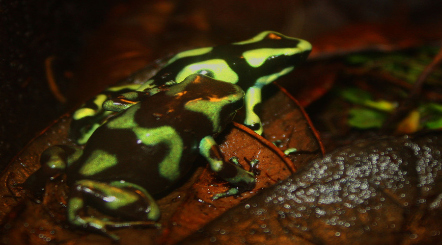 Green and Black Dart Frogs