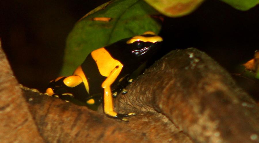 Guyana Yellow Banded Dart Frog