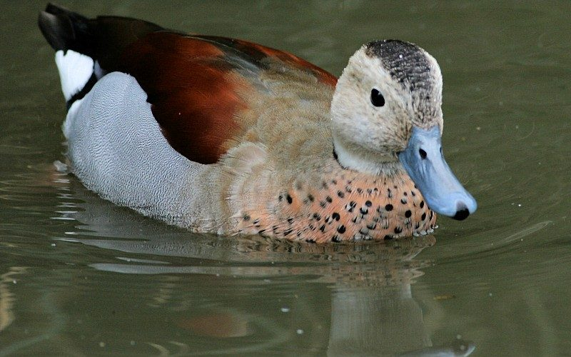 Male Ringed Teal